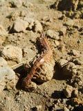 Grande centípede vermelho de Scolopendidae que rasteja em Rocky Ground Fotos de Stock Royalty Free