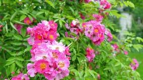 Grande cespuglio con i lotti di piccole rose stock footage
