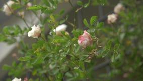 Grande cespuglio con la fioritura delle rose bianco-rosa per l'abbellimento verticale Durante la pioggia 4k, movimento lento archivi video