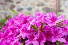 Grande cespuglio di un'azalea viola Fotografia Stock Libera da Diritti