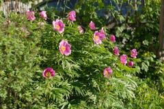 Grande cespuglio di una peonia semplice rosa selvatica del lat della radice di Maryin Fioriture del anomala di Paeonia nel giardi immagine stock libera da diritti