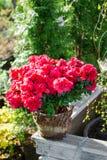 Grande cespuglio rosso dell'azalea nel giardino Fotografia Stock Libera da Diritti