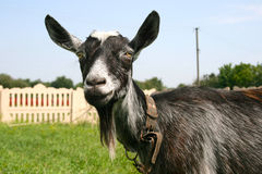 Grande chèvre grise sur une laisse Photo stock