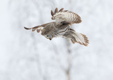 Grande chasse de Grey Owl (nebulosa de Strix) Photos stock