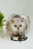 Grande chiaro gatto con i bei occhi verdi Fotografia Stock Libera da Diritti