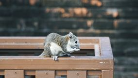 Grande cibo grigio dello scoiattolo archivi video