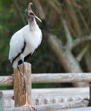 Grande cicogna di legno Florida del Brown Immagine Stock