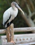 Grande cicogna di legno Florida del Brown Fotografia Stock