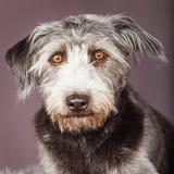 Grande close up desalinhado do cão de Terrier Imagem de Stock Royalty Free