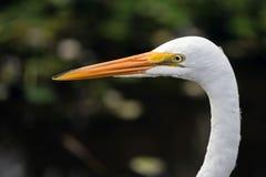 Grande close up do egret Imagens de Stock