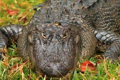 Grande coccodrillo Immagini Stock Libere da Diritti