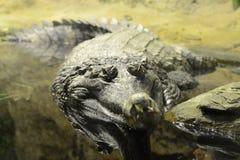 Grande coccodrillo Fotografia Stock Libera da Diritti