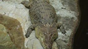 Grande coccodrillo che prende sunbath allo zoo stock footage