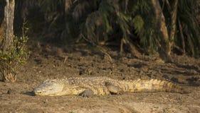 Grande coccodrillo di Nilo Immagini Stock