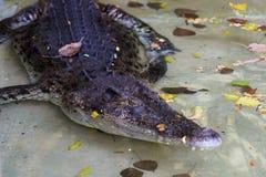 Grande coccodrillo nell'acqua Immagini Stock Libere da Diritti