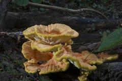 Grande colônia do fungo imagens de stock