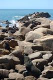 Grande colônia do lobo-marinho imagem de stock