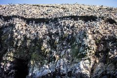A grande colônia dos pássaros Isla de Ballestas, Peru Foto de Stock Royalty Free