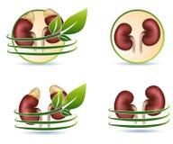 Grande coleção de rins humanos Imagens de Stock