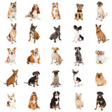 Grande coleção de cães comuns da raça Fotos de Stock