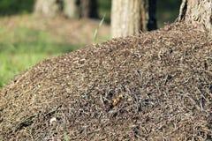 Grande colline de fourmi à l'arrière-plan trouble Images stock