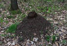 Grande colline de fourmi dans la forêt Images libres de droits