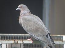 Grande colomba piacevole Fotografie Stock