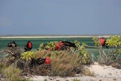 Grande colonie d'oiseau de frégate Images libres de droits