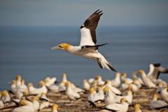 Grande colonie de fou de Bassan d'oiseau Images stock