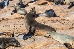 Grande colonie des animaux dans la croix de cap Photographie stock libre de droits