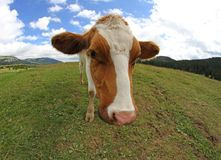 Grande colpo di pascolo della mucca con il fish-eye Immagini Stock Libere da Diritti