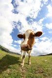 Grande colpo di pascolo della mucca con il fish-eye Fotografia Stock