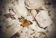 Grande concha de tartaruga da borboleta que senta-se nas rochas mornas foto de stock royalty free