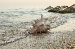 Grande concha do mar no fundo da costa de mar Fotos de Stock