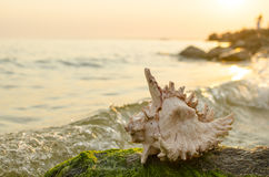 Grande concha do mar no fundo da costa de mar Foto de Stock