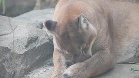 Grande concolor pericoloso del puma del catamount o del puma che governa il suo piede archivi video