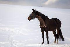 Grande condizione marrone scura del cavallo nella neve fotografia stock