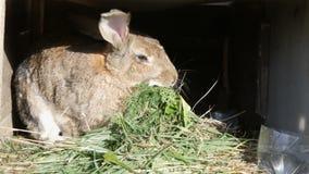 Grande coniglio grigio divertente che mangia erba verde in una gabbia archivi video