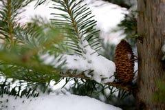 Grande cono del pino Fotografie Stock