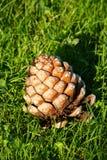 Grande cono del pino Fotografia Stock Libera da Diritti