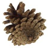 Grande cono del pino Immagini Stock Libere da Diritti