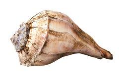 Grande conque de mer photographie stock libre de droits