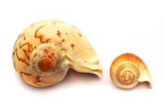 Grande contra pequeño shell del espiral del bucino fotografía de archivo libre de regalías