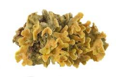 Grande corallo isolato su fondo bianco Fotografia Stock
