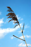 Grande Cordgrass Immagini Stock Libere da Diritti