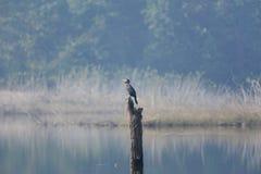 Grande cormorão em um lago Fotografia de Stock Royalty Free