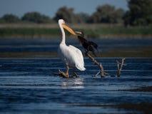 Grande cormorão perto de um pelicano grande agradável fotos de stock