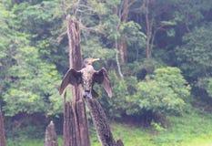 Grande cormorão preto - Carbo do Phalacrocorax - que senta-se na madeira com as asas abertas no parque nacional de Periyar, Keral Imagens de Stock