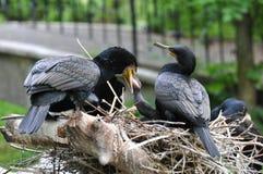 Grande Cormoran (carbo del Phalacrocorax) Fotografie Stock Libere da Diritti