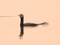 Grande cormorano Immagini Stock Libere da Diritti